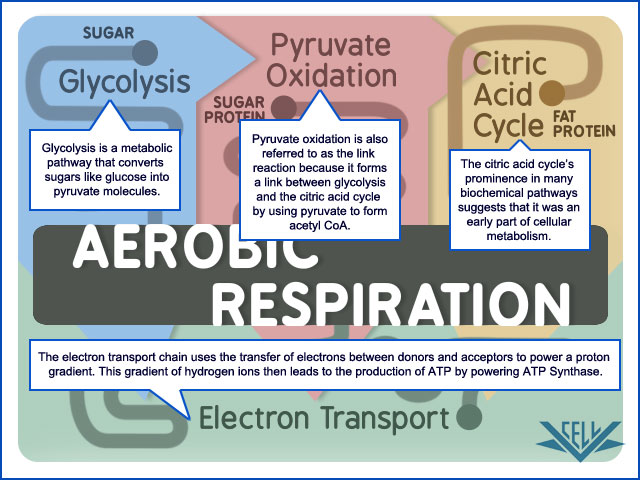 The citric acid cycle is one  A Closer Look At The Citric Acid Cycle
