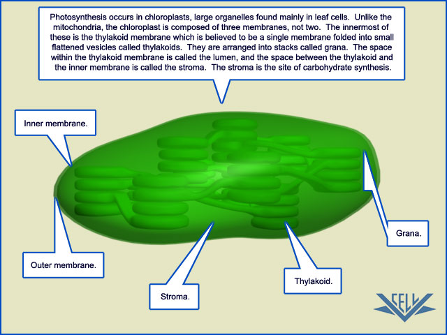 photosynthesis occurs in
